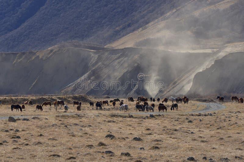 Wilde Pferde lassen in den schneebedeckten Bergen auf einem sonnigen Herbst weiden lizenzfreie stockfotos