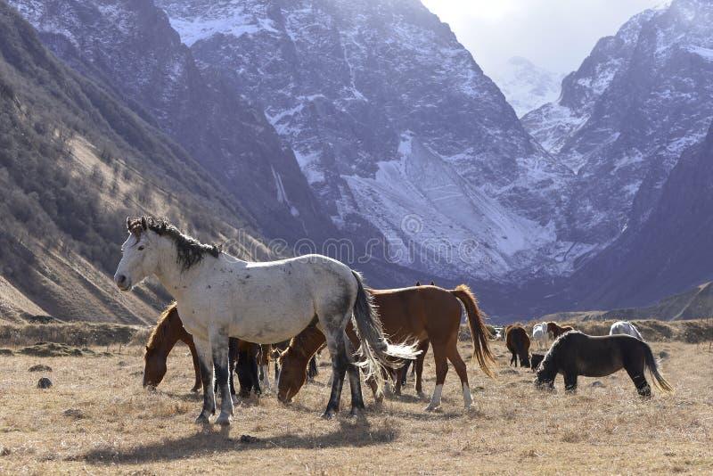 Wilde Pferde lassen in den schneebedeckten Bergen auf einem sonnigen Herbst weiden stockbilder