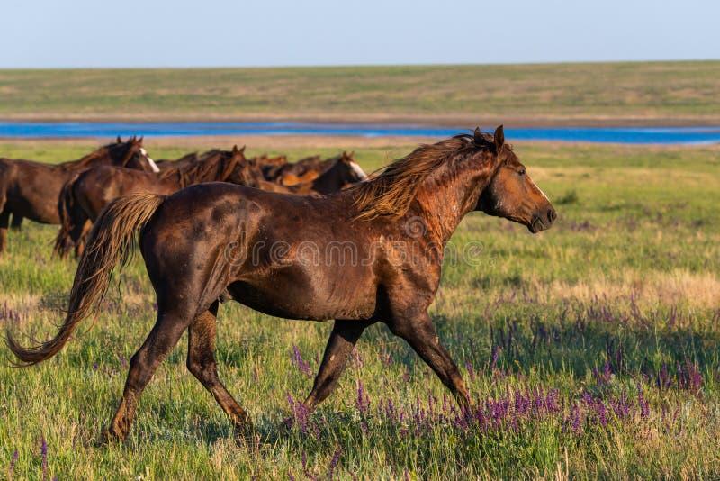 Wilde Pferde lassen in der Wiese bei Sonnenuntergang weiden stockfoto