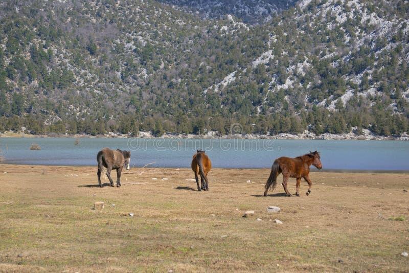 Wilde Pferde laufen lizenzfreies stockbild