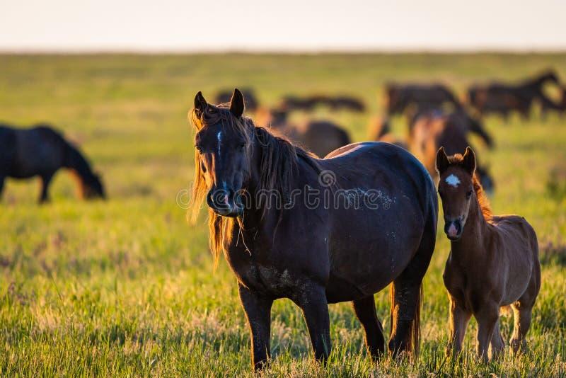 Wilde Pferde, Stute und Fohlen im wilden Leben lizenzfreies stockbild