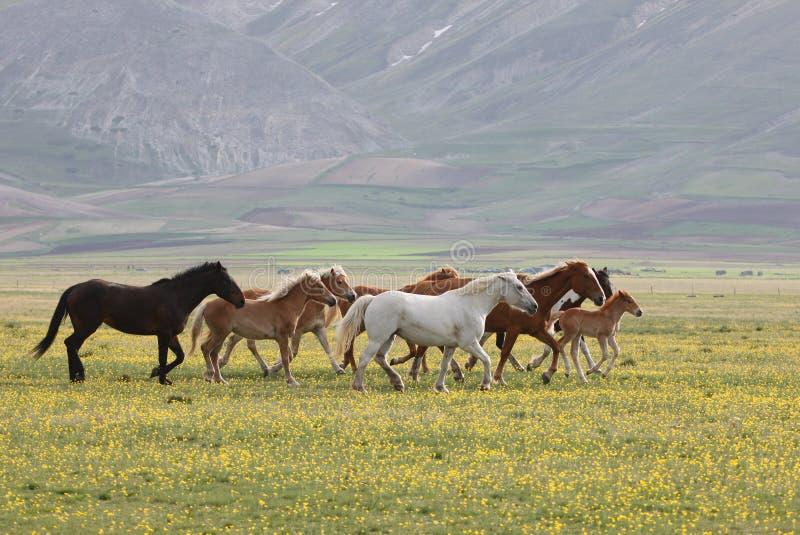 Wilde Pferde, Umbrien lizenzfreie stockfotos