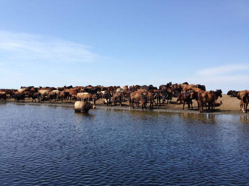 Wilde Pferde und Herde von Kühen in Donau-Delta stockfotografie