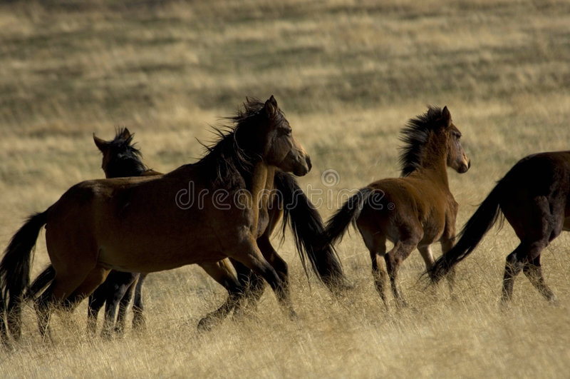 Wilde Pferde ungefähr zum zu laufen lizenzfreie stockbilder