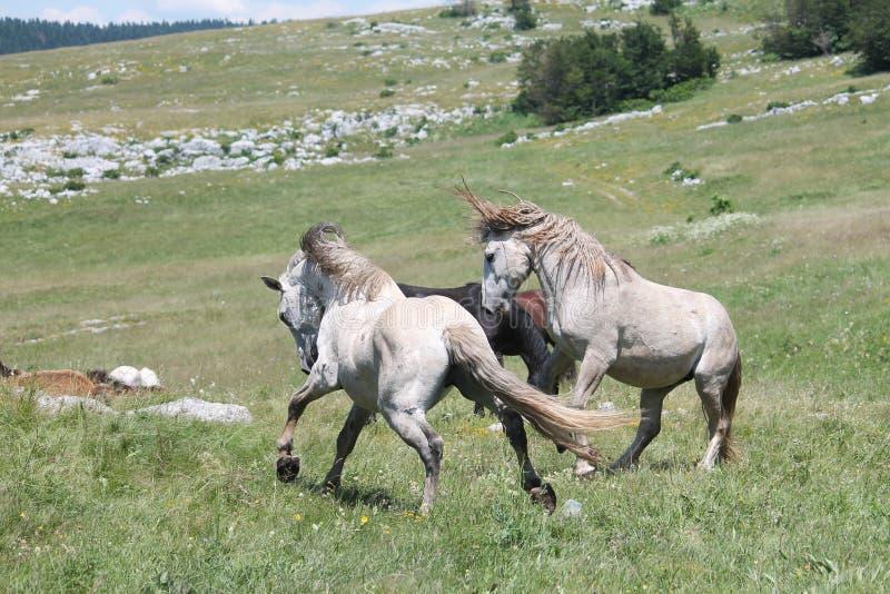Wilde Pferdekampf lizenzfreie stockfotos