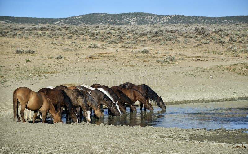 Wilde Pferdetrinken des Sand-Waschbeckens stockbild