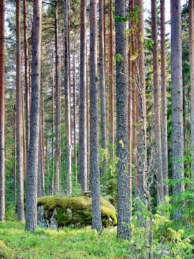 Wilde pijnboombos en mossteen in Finland royalty-vrije stock afbeeldingen