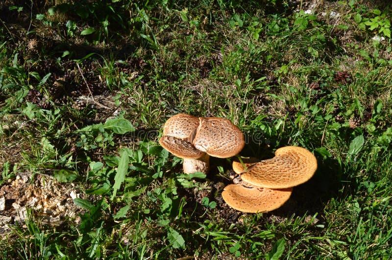 Wilde Pilze, West-Rhodope-Berge lizenzfreie stockbilder