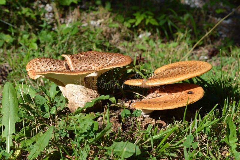 Wilde Pilze, West-Rhodope-Berge stockfoto