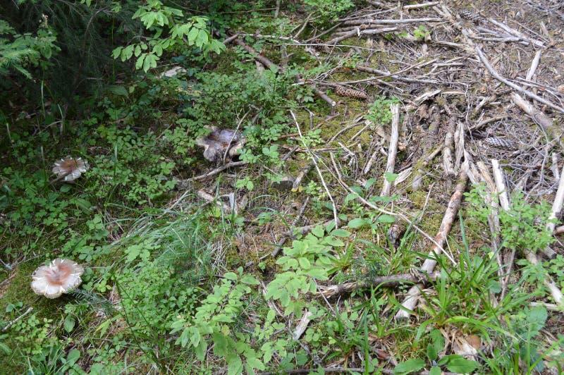 Wilde Pilze, West-Rhodope-Berge lizenzfreie stockfotografie
