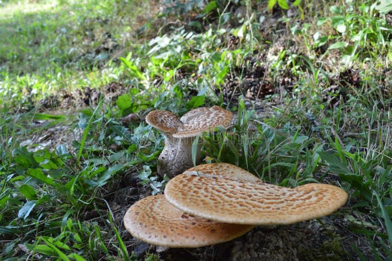 Wilde Pilze, West-Rhodope-Berge stockbilder