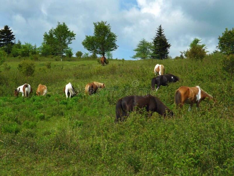 "Wilde Poneys †""Grayson Highlands State Park stock foto"