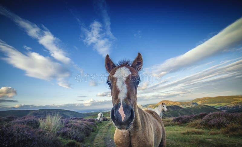 Wilde Pony Foal Portrait Close Up stock foto's