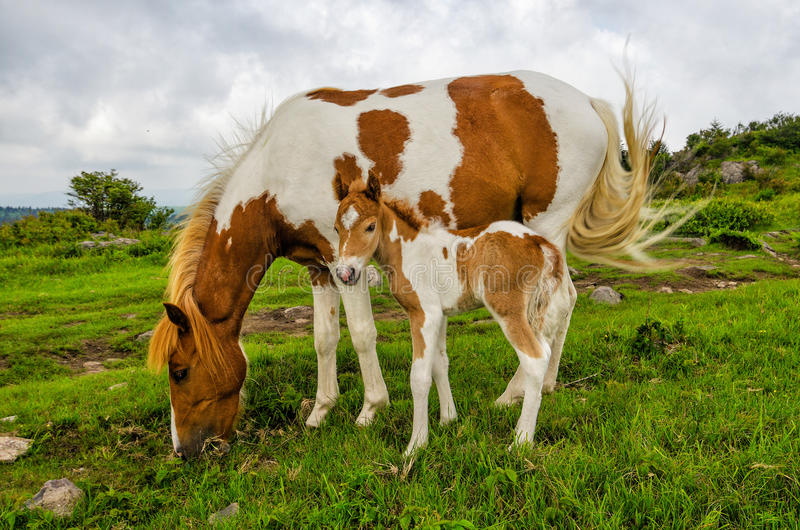Wilde Ponys, Grayson Highlands, Virginia lizenzfreies stockfoto