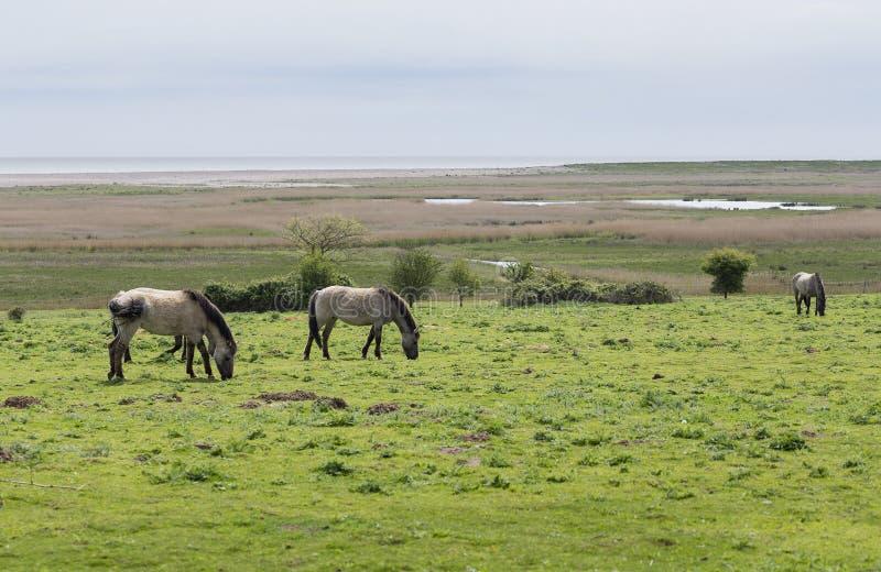 Wilde Ponys, Konik Polski, nahe den Suffolksümpfen lizenzfreie stockfotografie