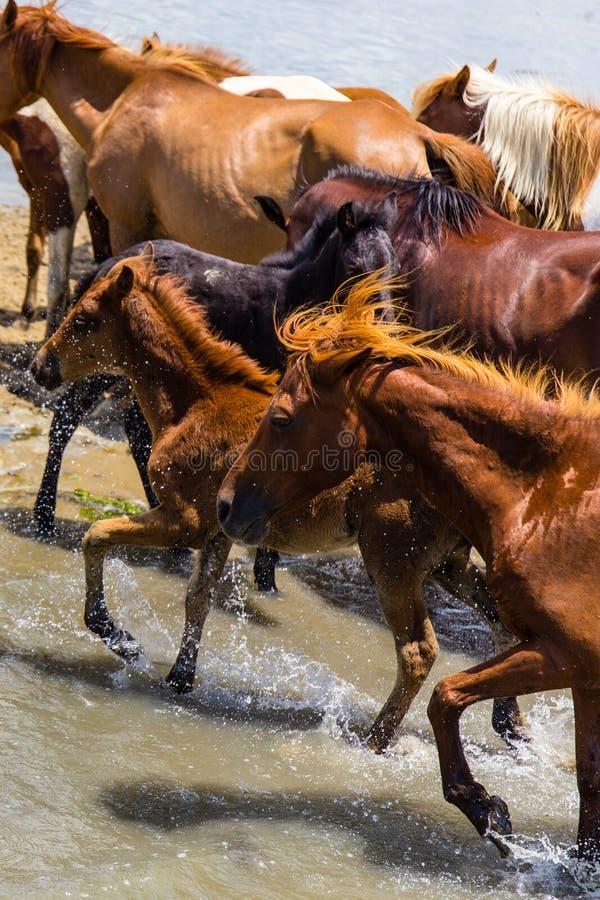 Wilde Ponys von Chincoteague-Insel lizenzfreie stockbilder