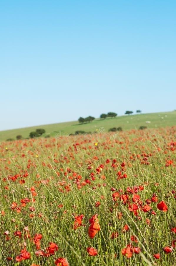 Wilde Poppy Field in Zomer stock fotografie