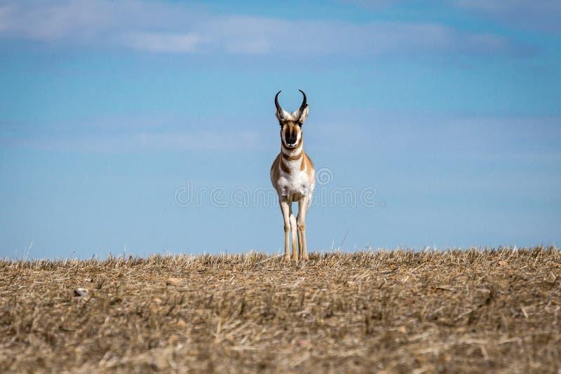 Wilde Pronghorn-Antilope Staredown stock afbeeldingen