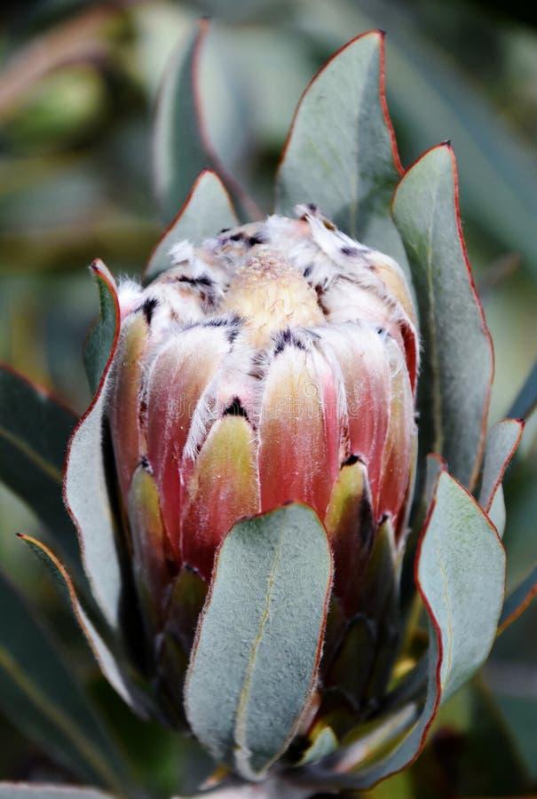 Wilde Protea-Blume stockbild