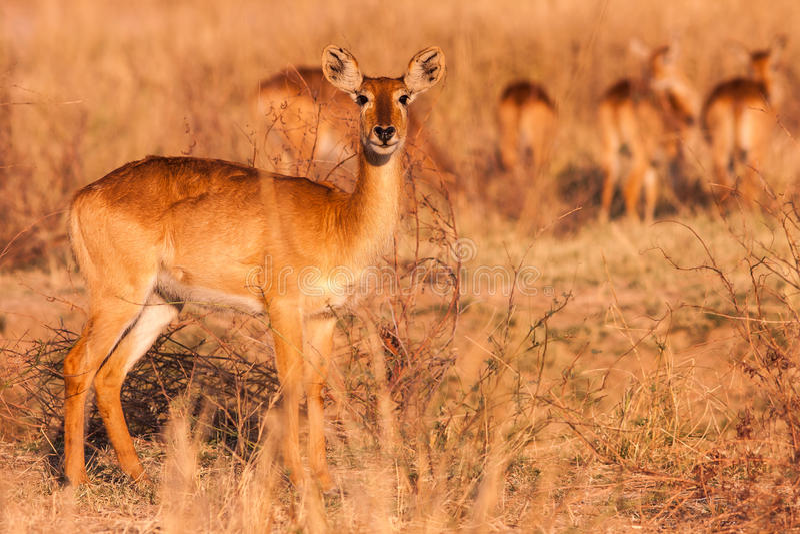 Wilde Puku-Antilope lizenzfreies stockfoto