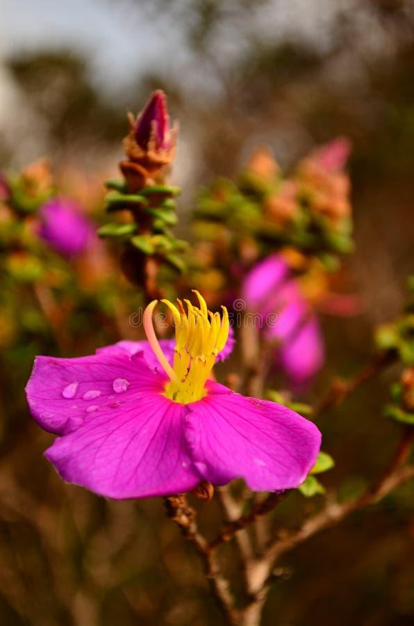 Wilde purpurrote Blüte am regnerischen Morgen stockbild