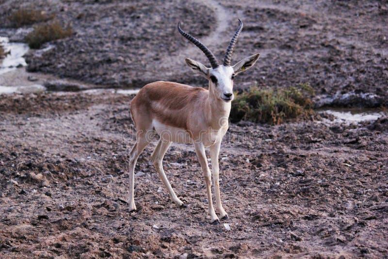 Wilde reeënbok die zich op een gebied bevinden stock foto's
