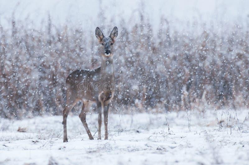 Wilde Rehe in einem Schneesturm lizenzfreies stockbild