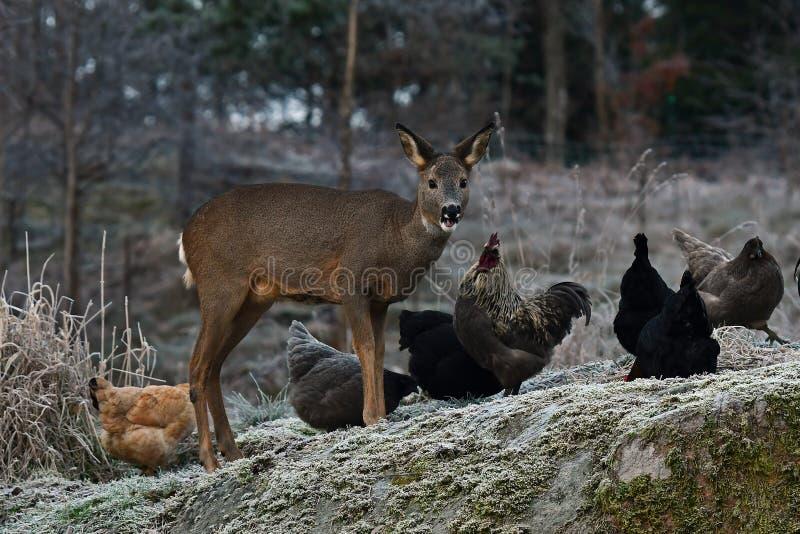 Wilde Rehe kamen zu den freilaufenden Hühnern des Bauernhofes in einem Land gefrorenen Herbst stockfotografie