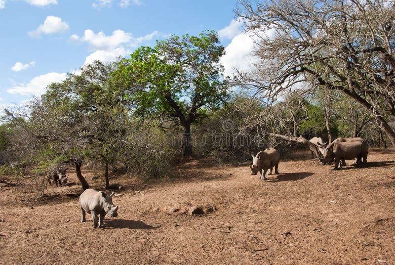 Wilde rinocerossen royalty-vrije stock foto's