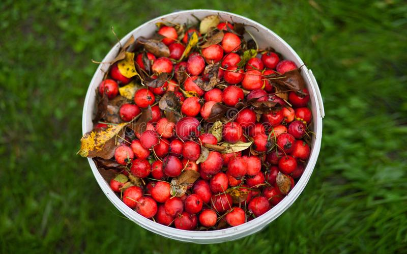 Wilde rode appelen op het gras stock foto's