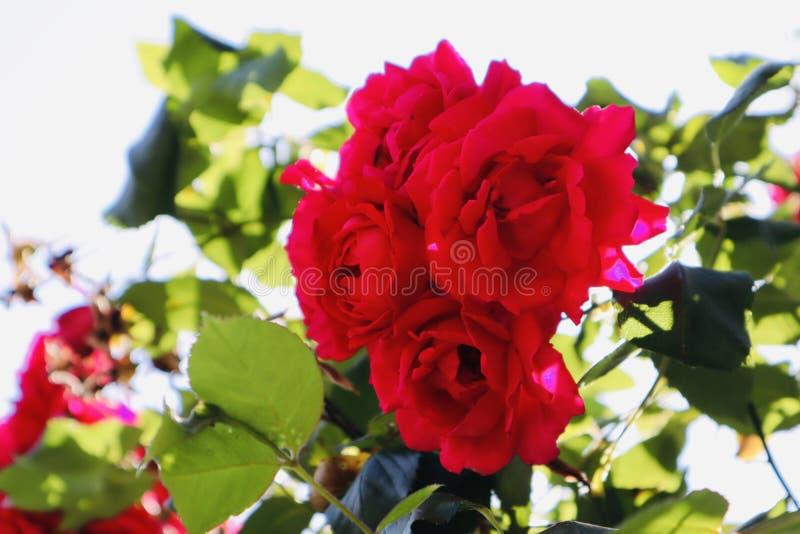 Wilde rode mooie rozenzonneschijn stock foto