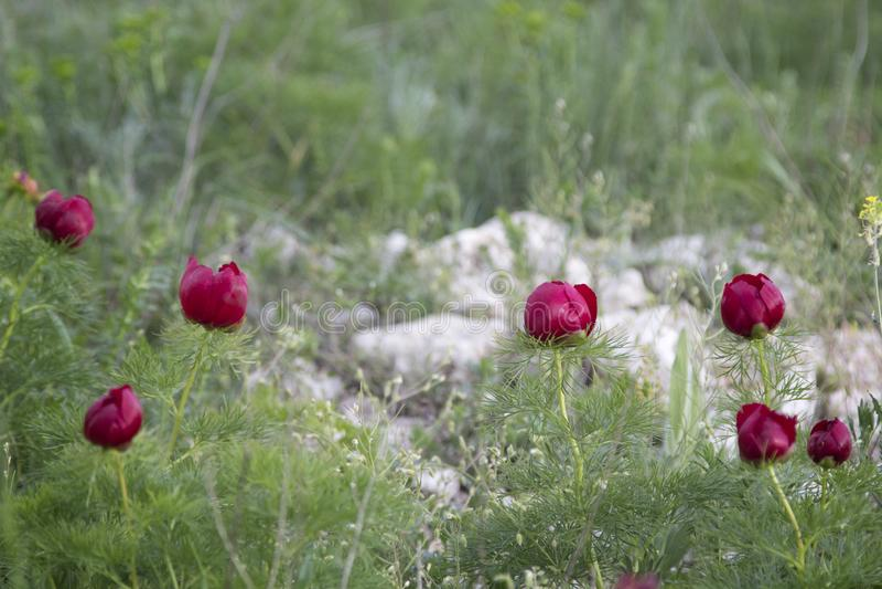 Wilde rode pioenenbloei in de bergen Paeoniatenuifolia stock afbeeldingen