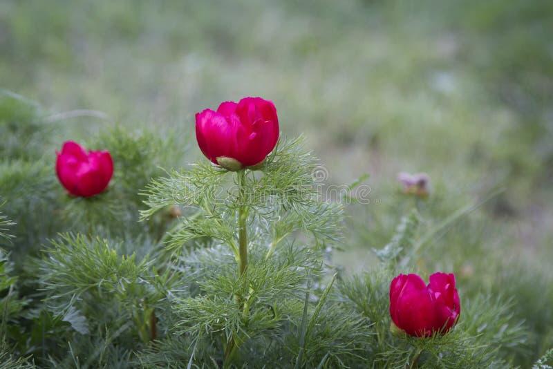 Wilde rode pioenenbloei in de bergen Paeoniatenuifolia royalty-vrije stock foto