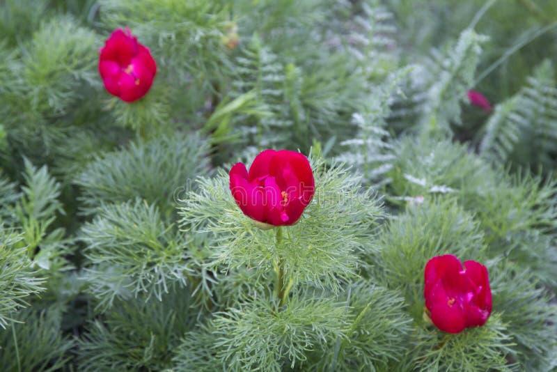 Wilde rode pioenenbloei in de bergen Paeoniatenuifolia royalty-vrije stock afbeelding