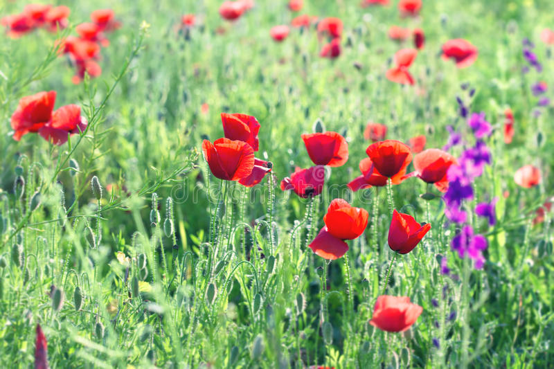 Wilde Rode Poppy Flowers stock afbeelding