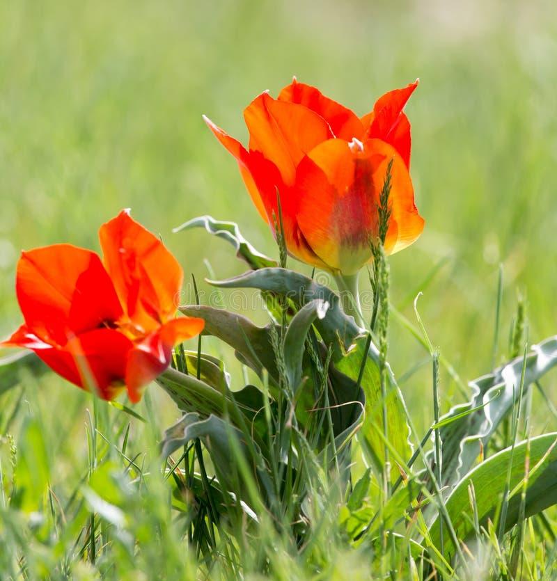 Wilde rode tulp in aard stock afbeelding