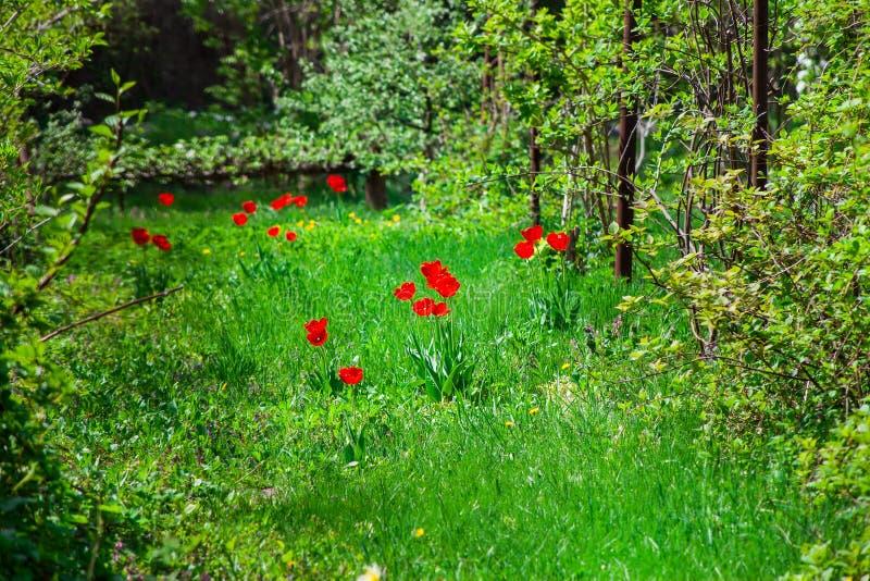 Wilde rode tulpen in een bosje stock foto's