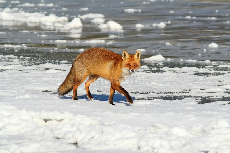 Wilde rode vos op ijs royalty-vrije stock foto