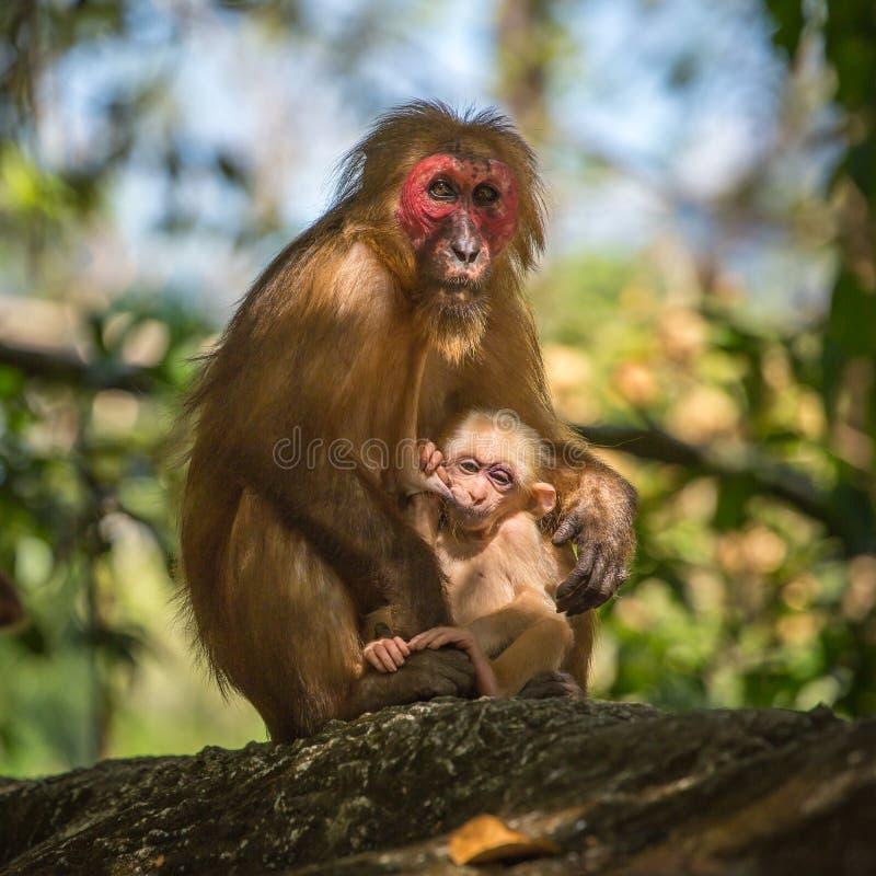 Wilde rood-onder ogen gezien macaque aap met een baby royalty-vrije stock foto