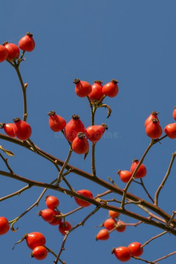 Wilde rosafarbene Beeren auf einer Niederlassung gegen den Himmel Hund-Rose im Herbst stockfotografie