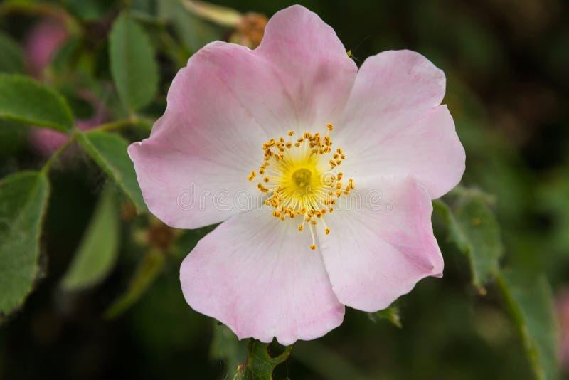 Wilde rosafarbene Blume stockfotografie