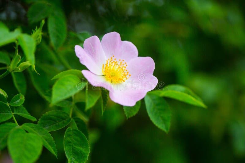 Wilde rosafarbene Blume, die auf Strauch, Fr?hling bl?ht lizenzfreie stockfotografie