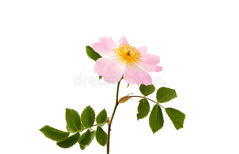 wilde rosafarbene Blume lokalisiert stockfotos