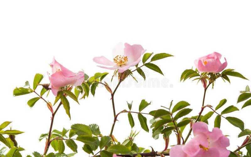 wilde rosafarbene Blume lokalisiert lizenzfreie stockfotos