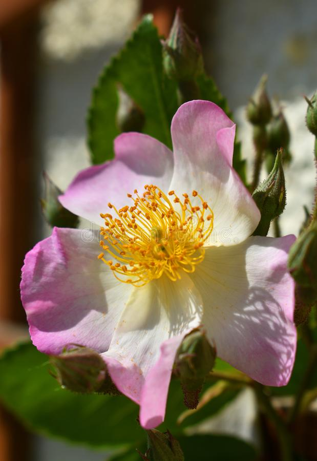Wilde Rose lizenzfreies stockfoto