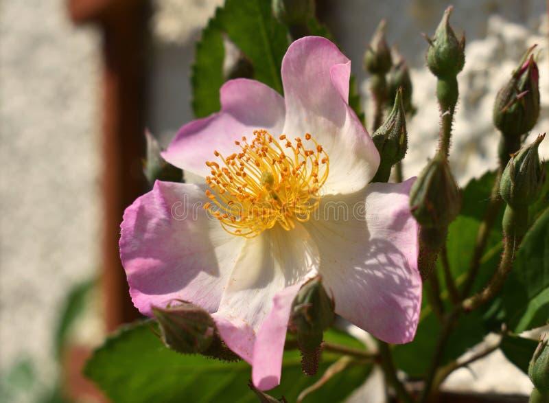 Wilde Rose lizenzfreie stockfotografie