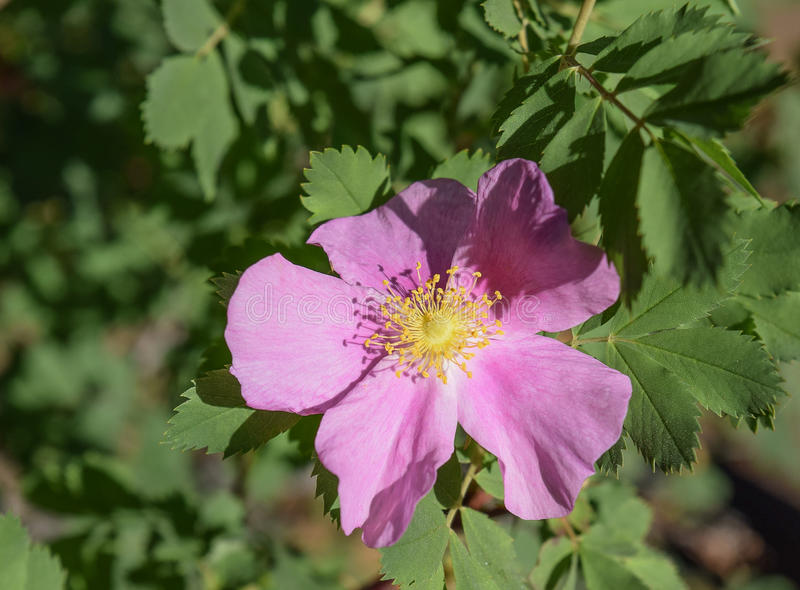 Wilde Rose im Wald in Estes Park, Colorado lizenzfreie stockfotos