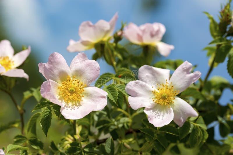 Wilde Rose Rosa-canina met open bloemblaadjes in de lente stock afbeeldingen