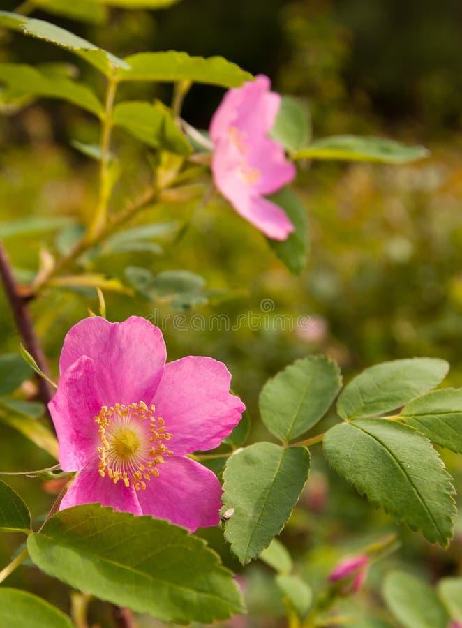 Wilde Rosen-Blüte in Alaska stockbilder