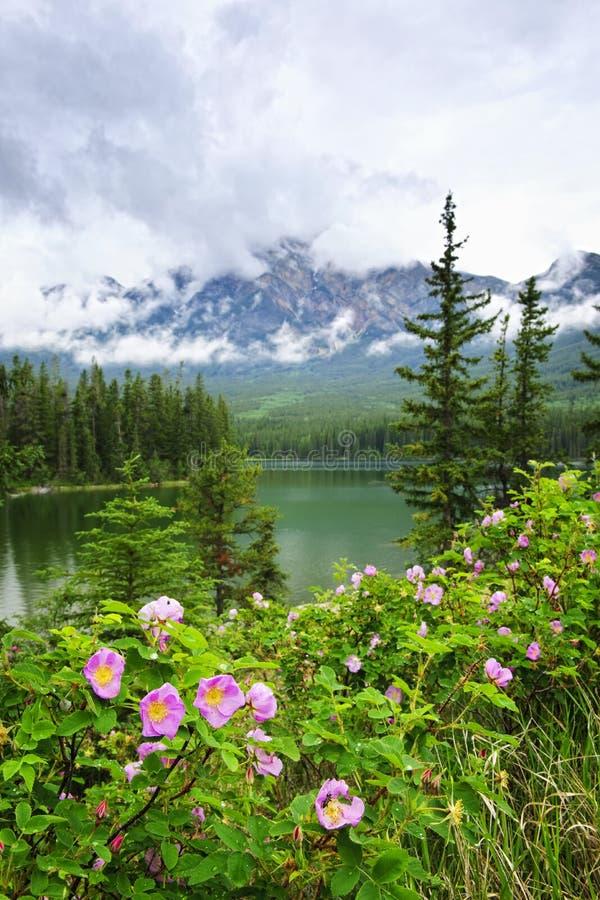 Wilde Rosen und See im Jaspis-Nationalpark lizenzfreies stockfoto